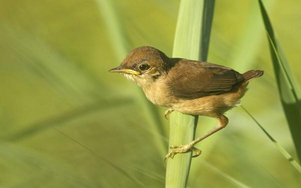 Juvenile Reed Warblers. by bobpaige1
