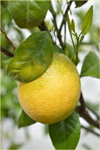 Lemon Tree by Trish53