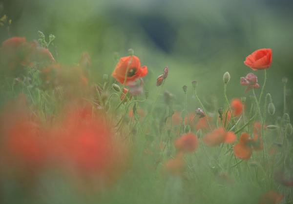 Poppy Dreamscape by TheHucklebrookHound