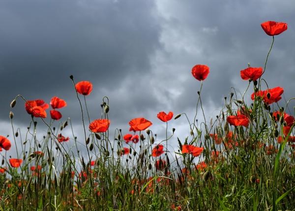 Sunlit Poppies by tywanda46