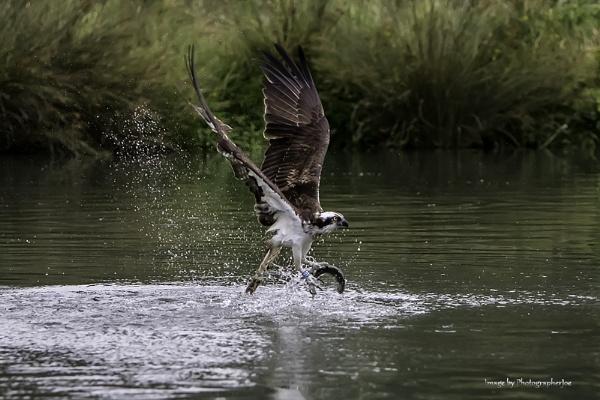 Osprey Fishing Master by photographerjoe