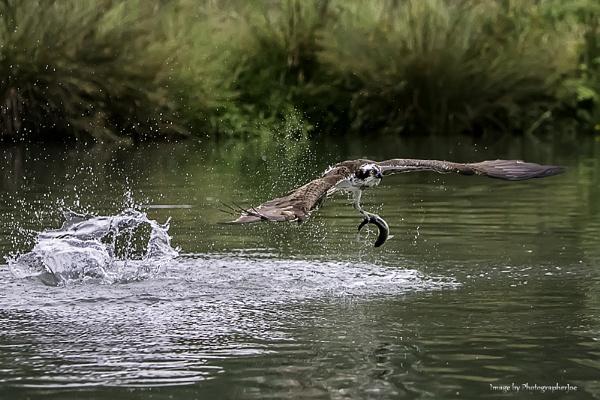 Ruland Osprey by photographerjoe