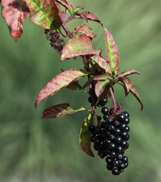 Berries by pokeyb