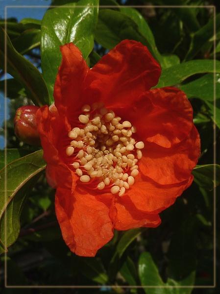 pomegranate by CarolG