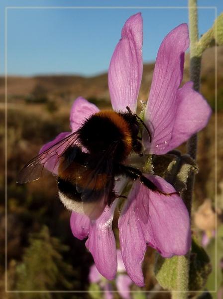 bumbles enjoying pollen by CarolG