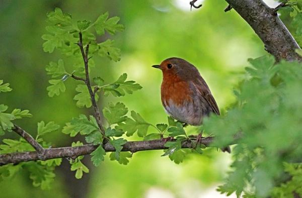 Robin by Silverzone