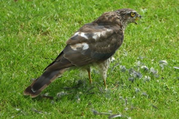 Sparrowhawk by colin beeley