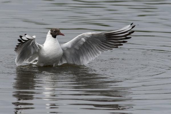 black headed gull by NEWMANP