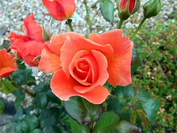 rose by sandy22