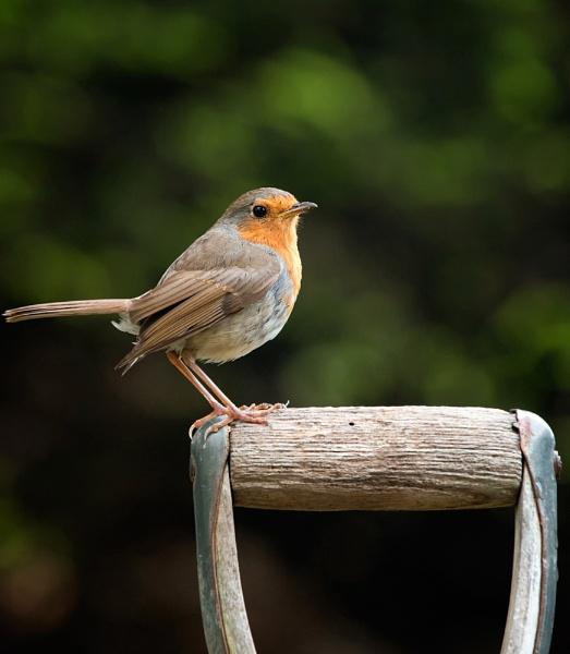 Robin by DannoM