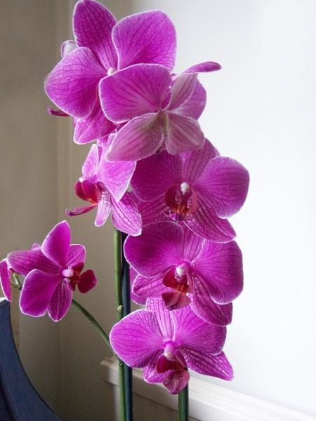 Phalaenopsis by TonyDy