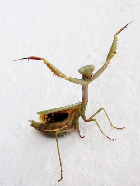 Praying Mantis in threat mode. by TonyDy