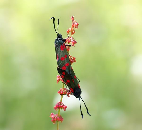 Six-Spot Burnet Moths by 64Peteschoice