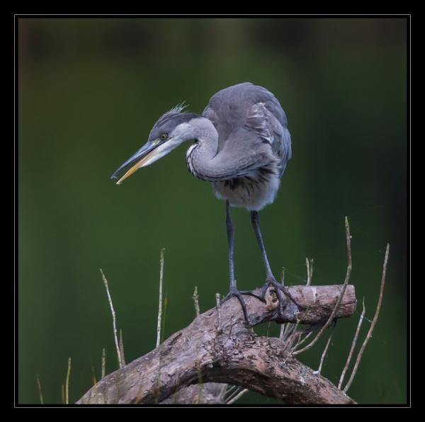 Heron by mjparmy
