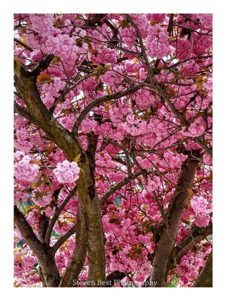 Cherry Blossom Tree by StevenBest