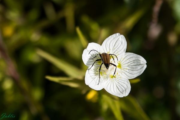 Parnassia palustris by jaktis