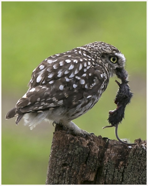 Little Owl with prey by AnnJ