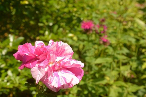 Rose by Suzicoo