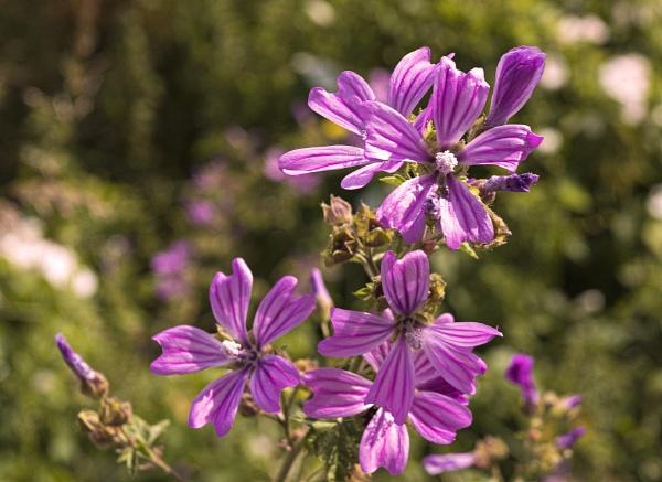 Purple by CharingPaul