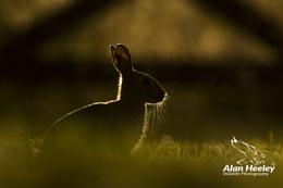 'Backlit Bunny'