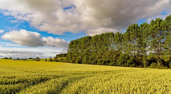 Barley field by BillRookery