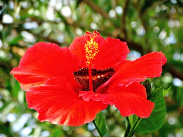 Pollinating a hibiscus by bwarnke