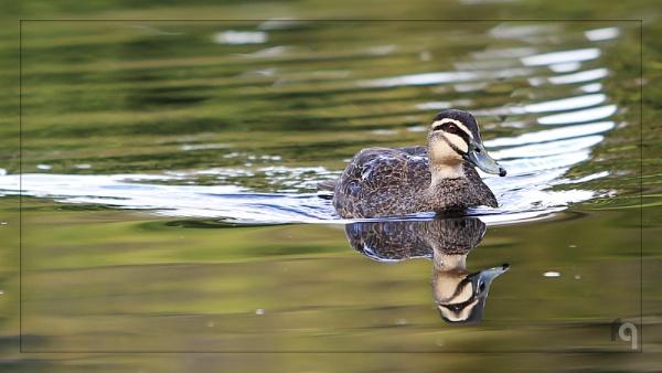 Pacific Black Duck by ferozeqasim