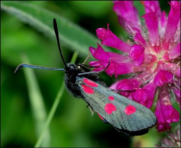 "\""Burnet Moths\"". by Badgerfred"
