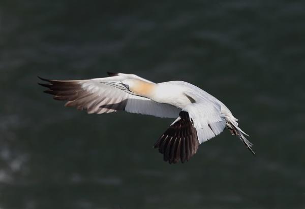 Gannet Landing by HenB
