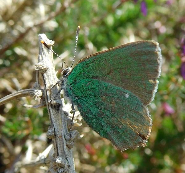 Green hairstreak butterfly by SUE118