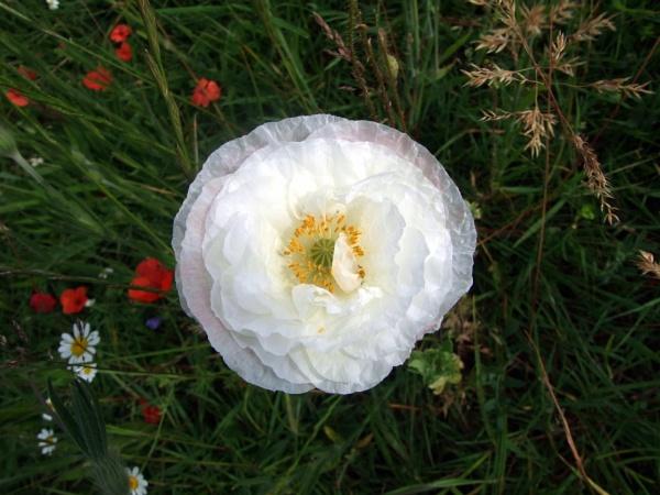 white poppy by sandy22