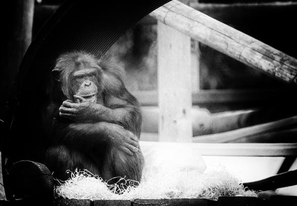 Chimpanzee by dawnstorr