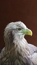 Fish Eagle.