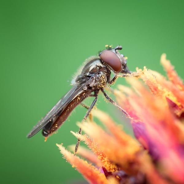 Hoverfly (Platycheirus albimanus) by jasonrwl