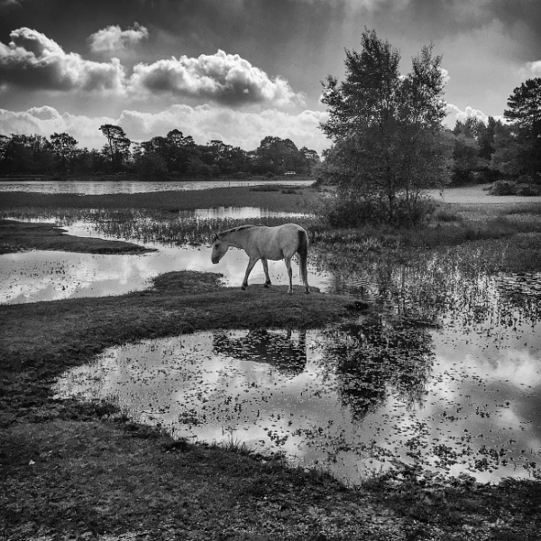 New Forest Pony by jasonrwl