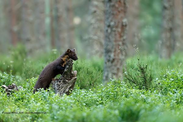 Pine Marten! by Louise_Morris