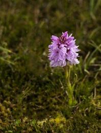 Hebridean Orchid