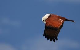 Brhaminy kite looking for dinner
