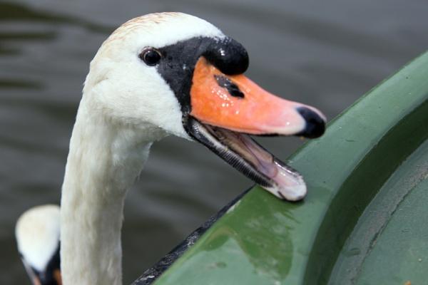 Swans on the Norfolk Broads by blueninjasix
