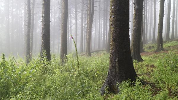 Woodland Foxglove by jeanie