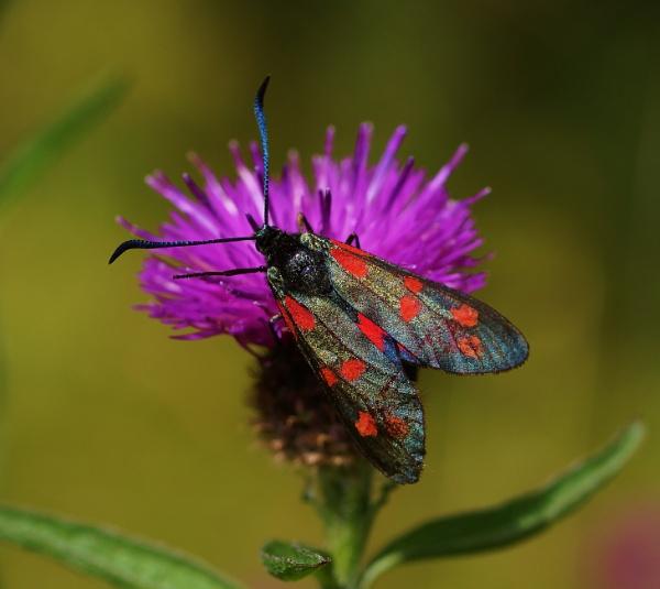 Six spotted Burnet moth by georgiepoolie
