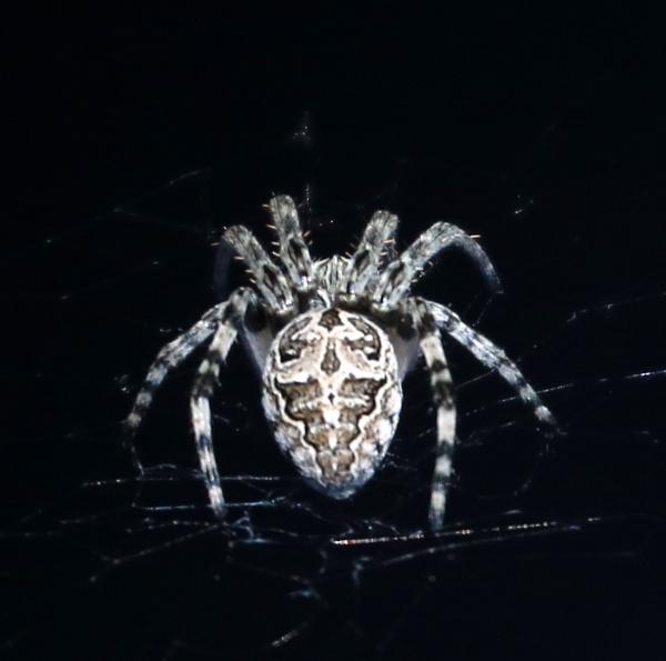 Spider  a la Czechoslovakia by tonyguitar