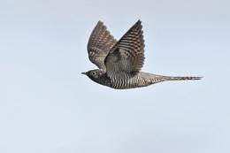 Cuckoo (juvenile)