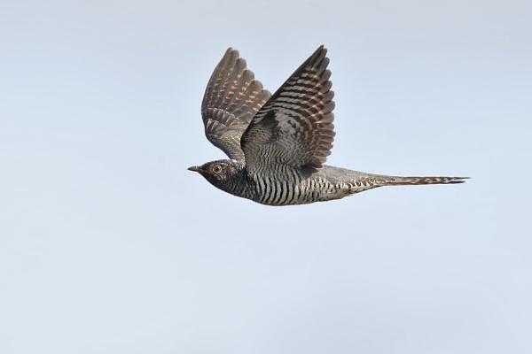 Cuckoo (juvenile) by jm1