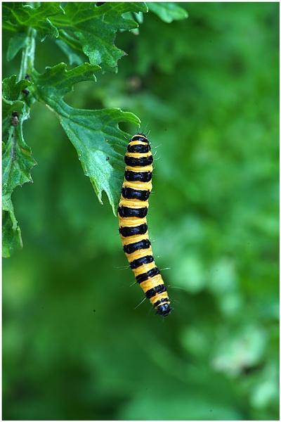 Caterpillar by johnriley1uk