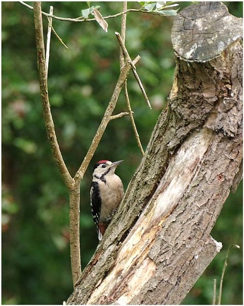 Woodpecker by johnriley1uk