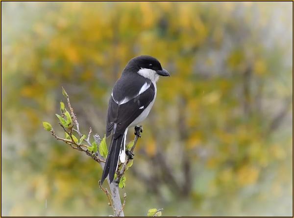 Jacky Hangman or Butcherbird by fotobee