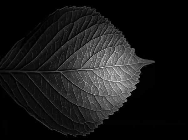 Leaf - Backlit by DaveRyder