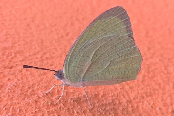 Butterfly by ujjalchhandar