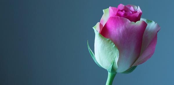 Pink Rose by Mrpepperman